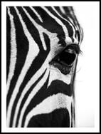 Närbild zebra