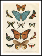 Olika Fjärilsarter