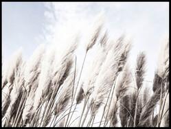 Pampas Gräs